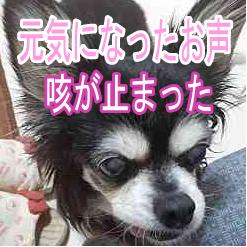 美ちょう寿を飲んだら心臓肥大の小型犬の咳が止まった